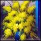Dipinti ad Olio -  - Mimose